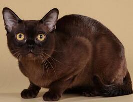 纯种缅甸猫幼猫