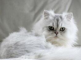 纯种金吉拉猫幼猫