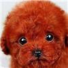 泰迪犬头部图片