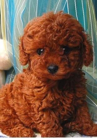 泰迪犬高清图片