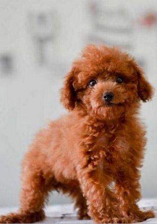 成年泰迪犬图片