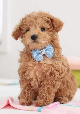 标准泰迪犬图片欣赏
