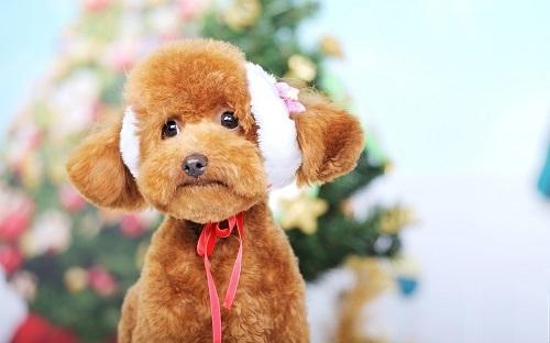 泰迪犬幼犬图片