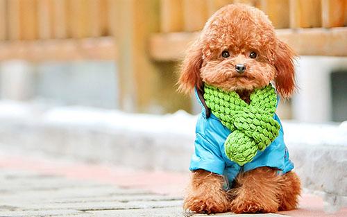 可爱的泰迪犬图片