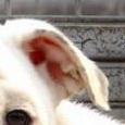 英国斗牛犬耳朵图片
