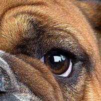 英国斗牛犬眼睛图片