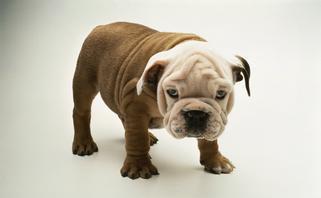 可爱的英国斗牛犬图片