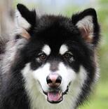 阿拉斯加犬头部图片