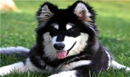 阿拉斯加犬幼犬图片
