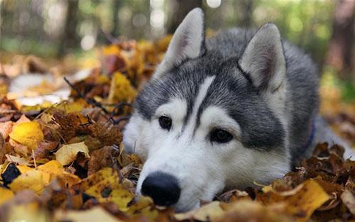 可爱的阿拉斯加犬图片