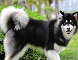 成年阿拉斯加犬图片