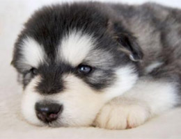 标准阿拉斯加犬图片欣赏