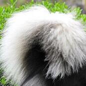 阿拉斯加犬尾巴图片