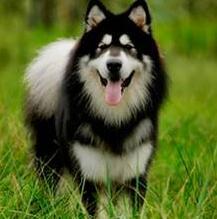 阿拉斯加犬整体图片