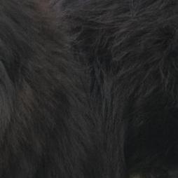 藏獒毛发图片