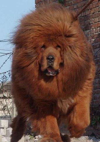 藏獒幼犬图片