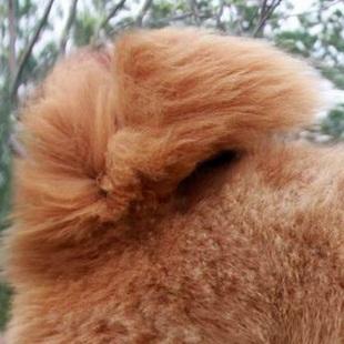 藏獒尾巴图片