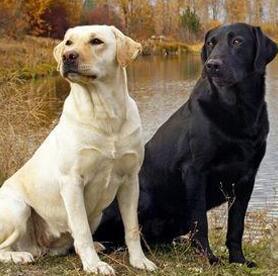 拉布拉多犬颜色图片