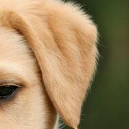 拉布拉多犬耳朵图片