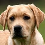 拉布拉多犬头部图片