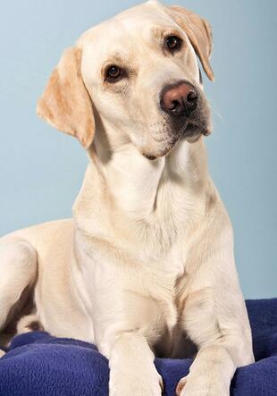 拉布拉多幼犬图片