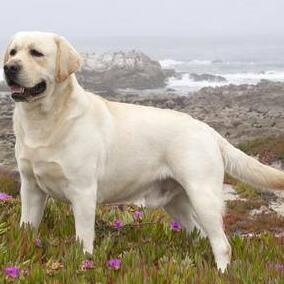 拉布拉多犬整体图片