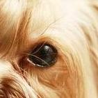 约克夏眼睛图片