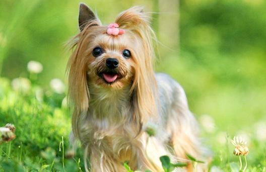 约克夏幼犬图片