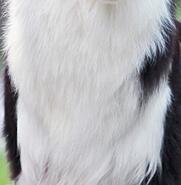 边境牧羊犬胸部图片