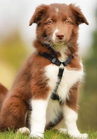 边境牧羊犬高清图片