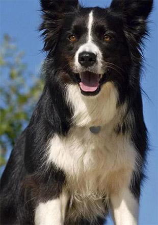 成年边境牧羊犬图片