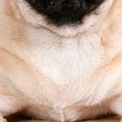 巴哥犬胸部图片