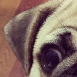 巴哥犬耳朵图片