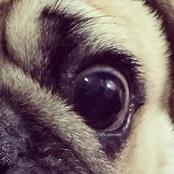 巴哥犬眼睛图片