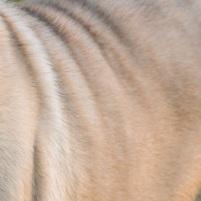 巴哥犬毛发图片