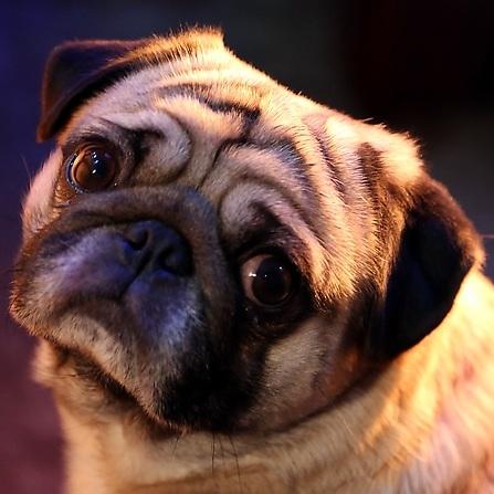 巴哥犬头部图片