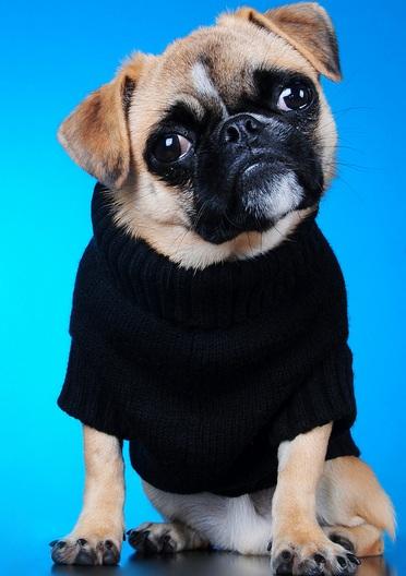 纯种巴哥犬图片
