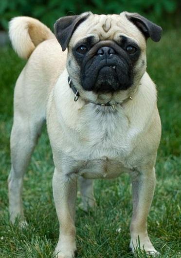 可爱的巴哥犬图片