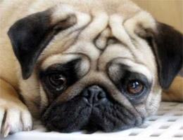 巴哥犬图片