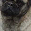 巴哥犬颈部图片