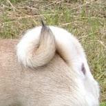 巴哥犬尾巴图片