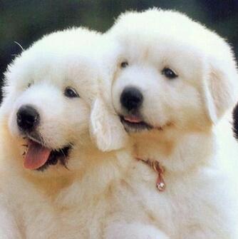 大白熊犬颜色图片