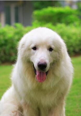 纯种大白熊犬图片