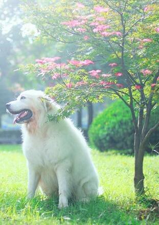 大白熊犬幼犬图片