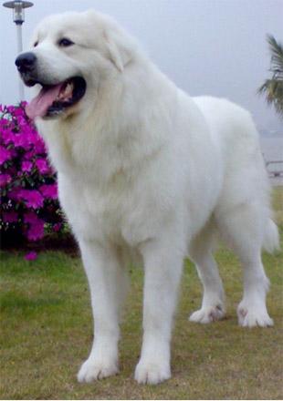 成年大白熊犬图片