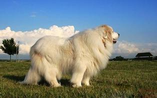 可爱的大白熊犬图片