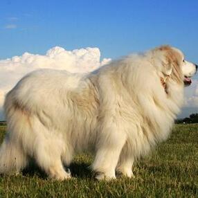 大白熊犬整体图片