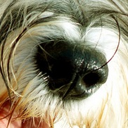 雪纳瑞鼻子图片
