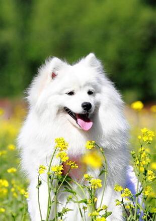 银狐犬幼犬图片