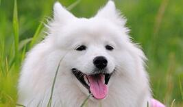 银狐犬多少钱一只